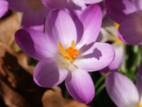 picture of a crocus